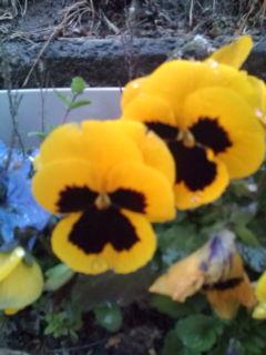 オジサンの花